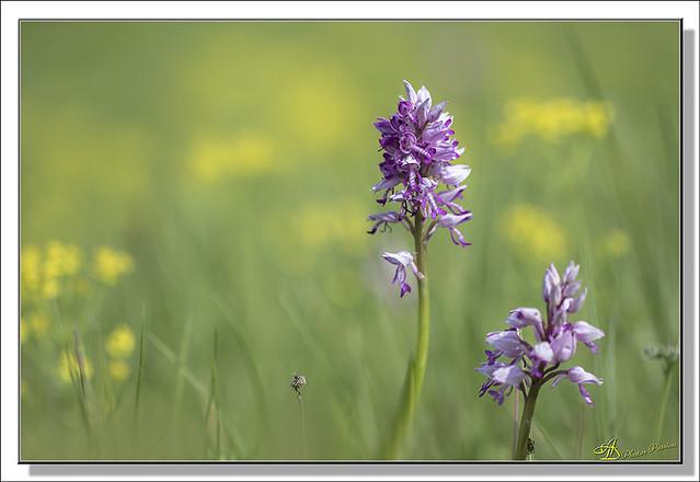 Orchidées (03)
