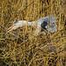 Grey Heron Wollaton Park 5-3-18