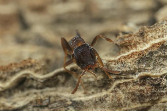 Pseudomyrmex phyllophilus 2018.02.26_02