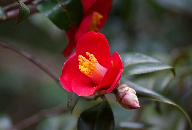 Repeated-- Camellia japonica, Sony SLT-A77V, Sony DT 55-300mm F4.5-5.6 SAM (SAL55300)