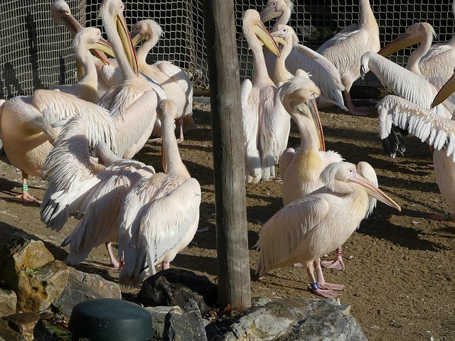 Pelikan, Ouwehands Dierenpark, Rhenen