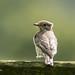 Spotted Flycatcher 500_2350.jpg