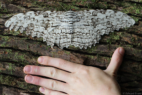 Largest moth in the world - White witch (Thysania agrippina)