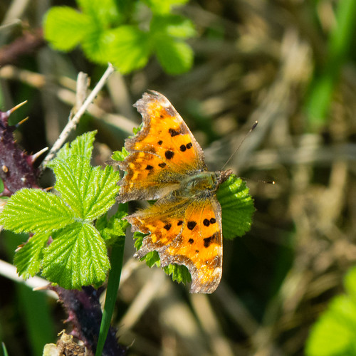 Comma butterfly on bramble leaf