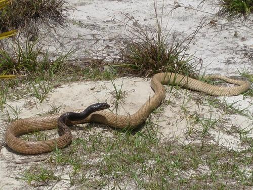polkcountyflorida florida lewistract herptile snake