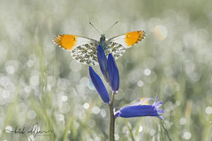 Orange tip Butterfly ( Male )