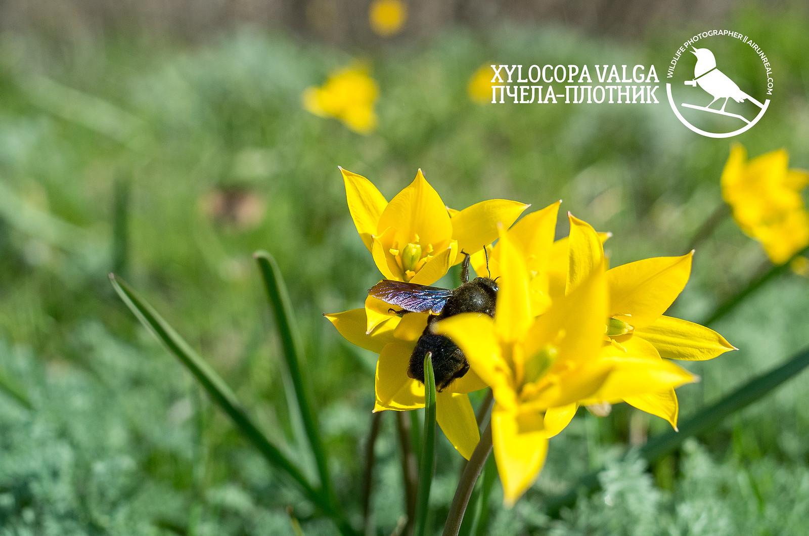 Xylocopa valga // 20180430