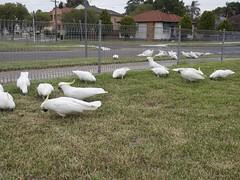 Feeding the cockatoos...
