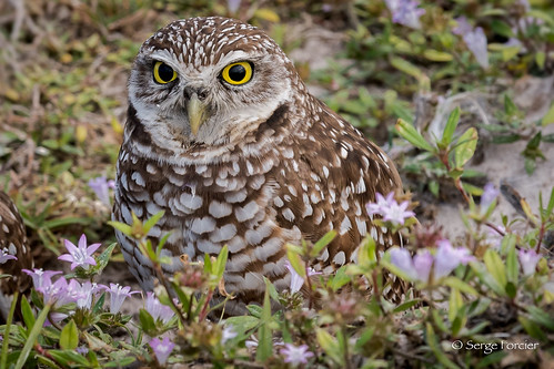 Chevêche des terriers / Borrowing Owl