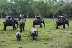Индийский носорог, Rhinoceros unicornis, Indian rhinoceros