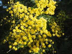 Acacia dealbata per Teresa Grau Ros a Flickr