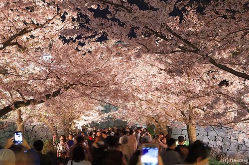 Fukuoka Castle Sakura Festival 2018