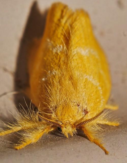 Gold wooly molly mop moth Airlie Beach rainforest P1220544