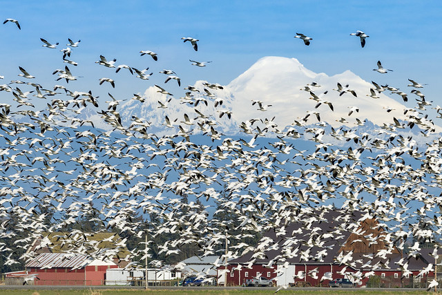 Snow Geese and Mount Baker