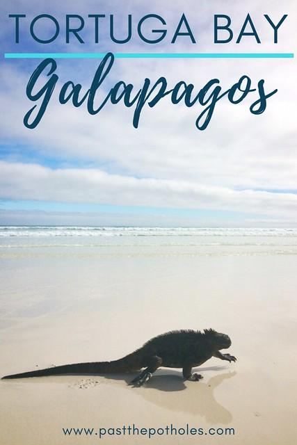 Marine iguana walking along the shore of Tortuga Bay, Galapagos