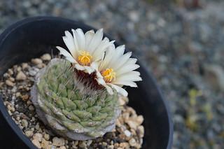 DSC_8097 Strombocactus disciformis ストロンボカクタス 菊水