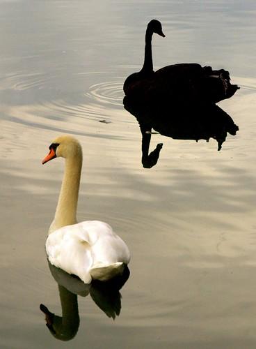 blackandwhite bird water silhouette contrast wow advertising geotagged swan screensaver ripple cab 10d coloradosprings doubleclick broadmoor 2470 featheryfriday clientadvisoryboard geo:lat=38790478 geo:lon=104852175