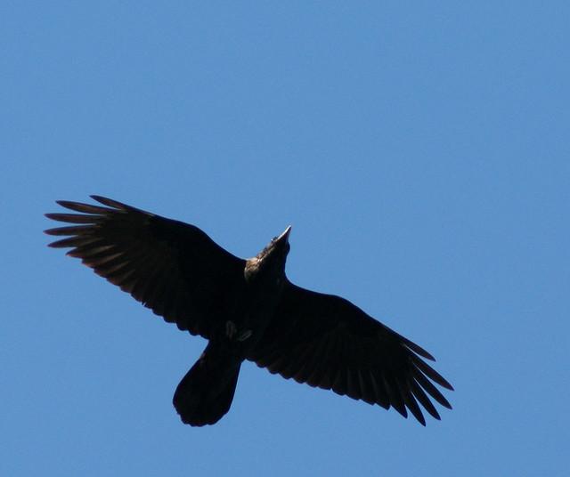 Raven In Flight Flickr Photo Sharing