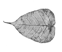 Skeleton of a small leaf : Worlds within (Junaid Rashid) by Engineer J
