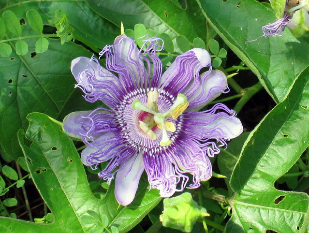 Passiflora incarnata, passion-flower