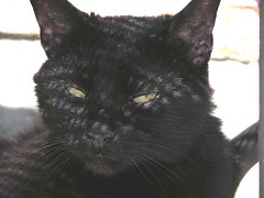 nose, animal, small to medium-sized cats, pet, mammal, black cat, bombay, cat, whiskers, black, domestic short-haired cat,
