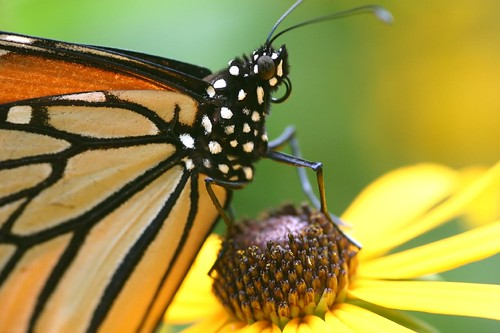 Resting Monarch Butterfly by jeffsmallwood