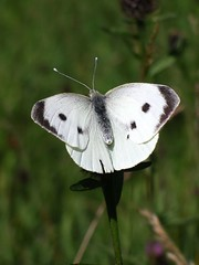 flower(0.0), nectar(0.0), colias(0.0), arthropod(1.0), pollinator(1.0), animal(1.0), moths and butterflies(1.0), butterfly(1.0), wing(1.0), invertebrate(1.0), macro photography(1.0), fauna(1.0), cabbage butterfly(1.0), close-up(1.0),