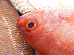 orange, animal, fish, fish, macro photography, red snapper, close-up,