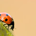 Ladybird... walking on by