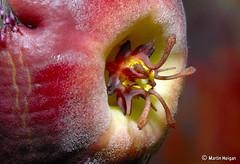 Tromotriche revoluta flower macro