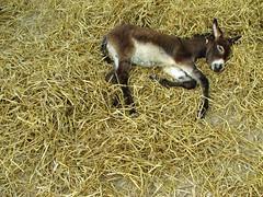 antelope(0.0), goats(0.0), domestic goat(0.0), white-tailed deer(0.0), gazelle(0.0), animal(1.0), grass(1.0), foal(1.0), pack animal(1.0), grazing(1.0), fauna(1.0), wildlife(1.0),