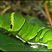 very green caterpillar