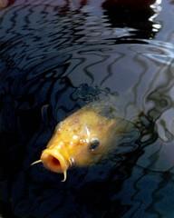 carp, fish, marine biology, koi,