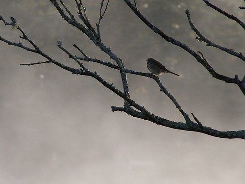 Song Sparrow In Morning Mist