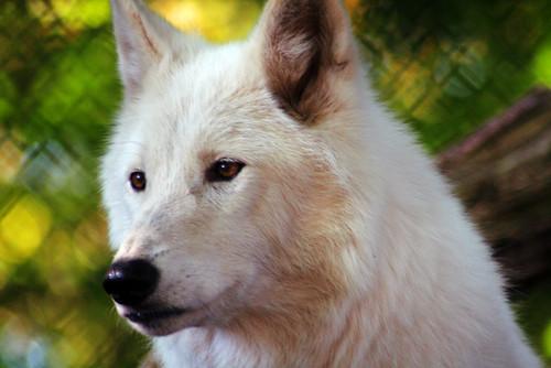 animal zoo wolf wildlife canoneos350d canoneosdigitalrebelxt whitewolf senecaparkzoo