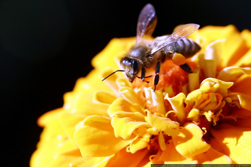 bee on a yellow zinnia    MG 2440
