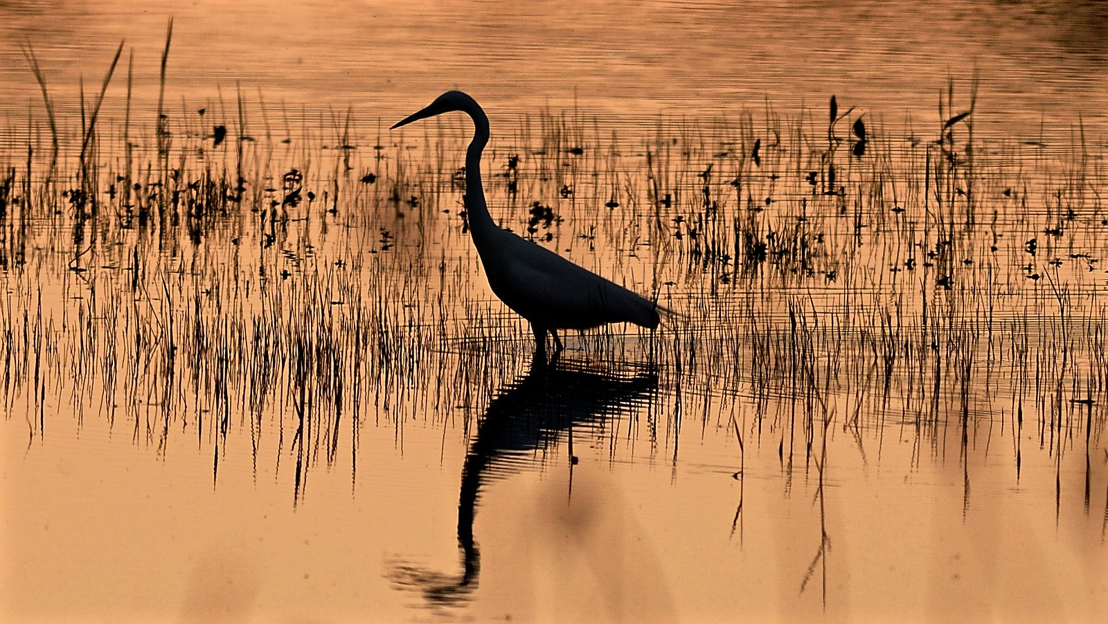 Great White Egret fishing as the sun sets