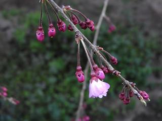 枝垂れ桜 3.26-1
