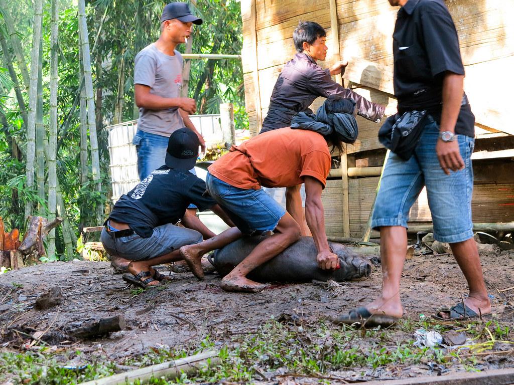 Matanza de cerdos en Indonesia