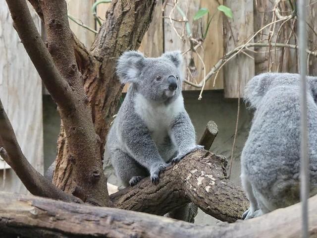 Koala, Zoo Duisburg