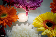 Closeup of colorful gerbera background