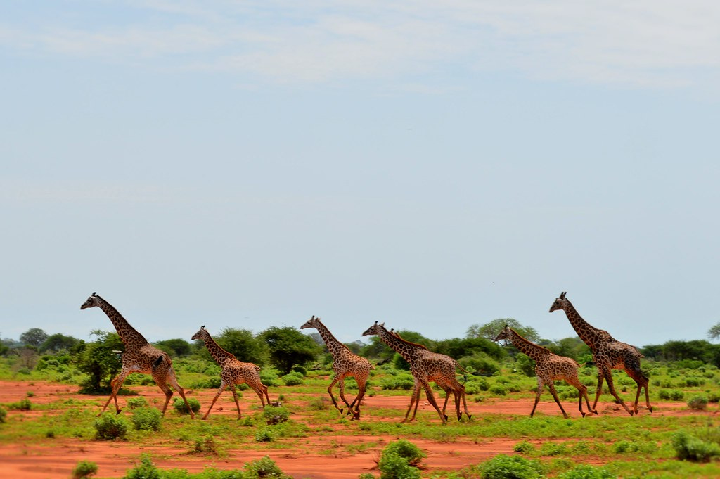 Giraffes in Tsavo East NP