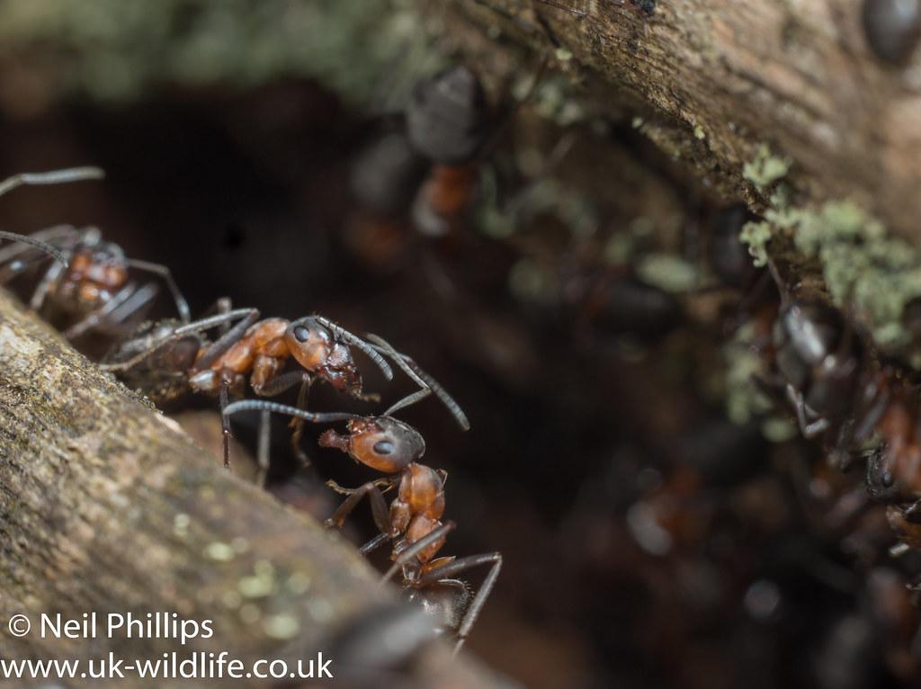 Wood ant-21