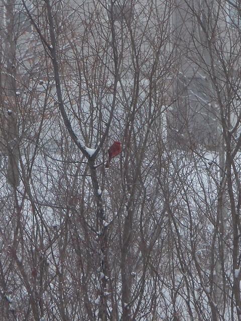 2018-04-03 Cardinal in snow