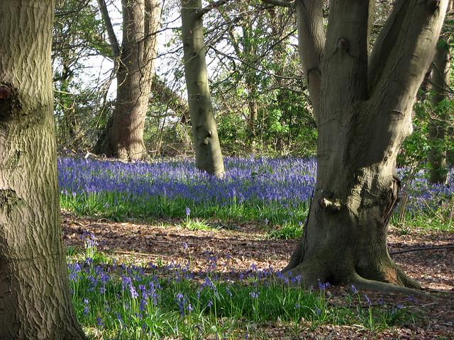 Bluebells at Sutton Hoo