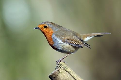 northamptonshire wild wildlife nature bird woodland robin erithacusrubecula barnwellcountrypark