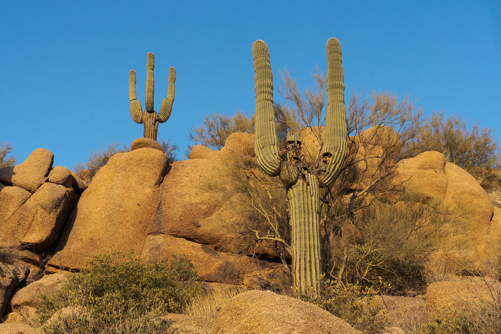 Two large saguaro cactus as the sun rises at Pinnacle Peak Park in Scottsdale, Arizona