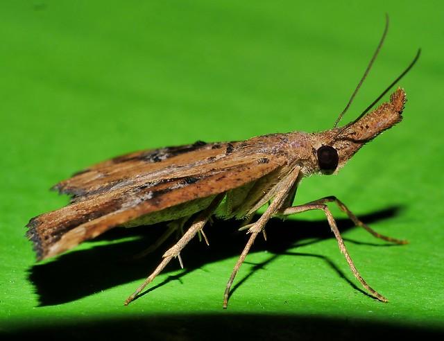 Extra long snout moth Hypena sp aff labatalis Hypeninae Erebidae Noctuoidea Airlie Beach rainforest P1220965