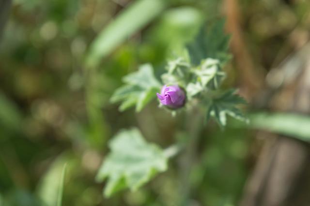 Άγρια μολόχα (Μαλάχη η άγρια, Malva sylvestris)