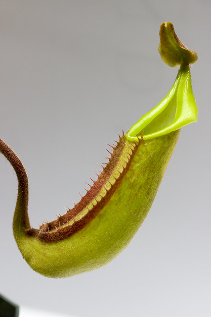 Nepenthes maxima Wavy Leaf BE tc